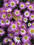Crisântemos no outono Flores brilhantes do outono Imagem de Stock