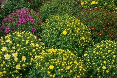 Crisântemos Varietal do conjunto em um florista Branco, amarelo, foto de stock royalty free