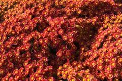 Crisântemos vermelhos no jardim Fotografia de Stock Royalty Free