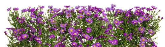 Crisântemos violetas linha isolada Fotos de Stock Royalty Free