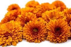 Crisântemos Yellow-orange Imagens de Stock
