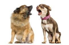 Cris de deux chiens Photo libre de droits