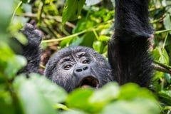 Cris perçants d'un gorille de bébé dans le forrest impenatrable de l'Ouganda photo libre de droits