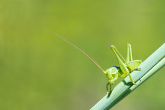 Crisalide del cricket Fotografie Stock