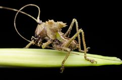Crisalide del katydid intestata drago trovata in Malesia fotografia stock