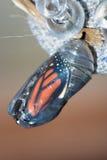 Crisalide del monarca Immagini Stock Libere da Diritti