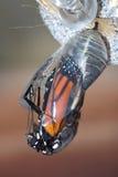 Crisalide del monarca fotografia stock libera da diritti
