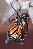 Crisalide del monarca Fotografia Stock