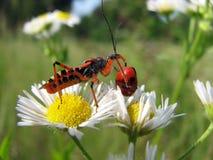 Crisalide dell'insetto di assassino Fotografia Stock