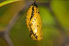 Crisalide della farfalla Immagine Stock