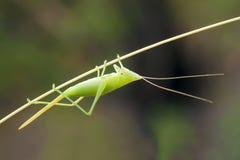 Crisalide di Katydid Fotografia Stock
