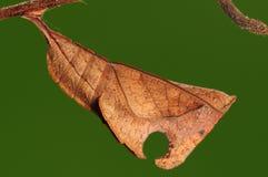 Crisalidi del nesimachus di Dichorragia, farfalla Immagini Stock
