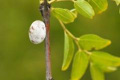 Crisalidi dell'insetto Fotografia Stock