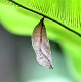 Crisalidi della farfalla Immagine Stock Libera da Diritti