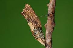 Crisalidi di Agehana elwesi/sull'albero Fotografia Stock