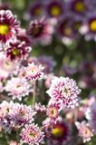 crisantemi Fotografie Stock Libere da Diritti