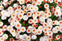 Crisantemi Fotografie Stock