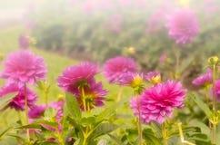 Crisantemi Immagine Stock