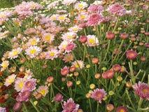 crisantemi Immagine Stock Libera da Diritti
