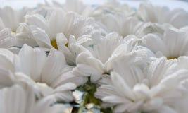 Crisantemi in acqua Fotografia Stock