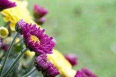 Crisantemi alla fioritura Immagini Stock