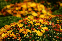 Crisantemi arancio e gialli variopinti di caduta Immagine Stock