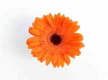 Crisantemi arancio in vaso bianco Fotografia Stock