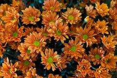 Crisantemi arancioni Fotografia Stock