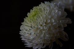 Crisantemi bianchi Germoglio, petali, mazzo Immagine Stock Libera da Diritti