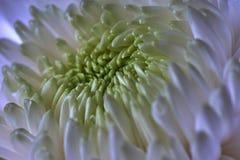 Crisantemi bianchi Germoglio, petali, mazzo Fotografie Stock