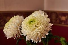 Crisantemi bianchi Germoglio, petali, mazzo Immagine Stock