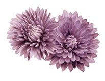crisantemi bianchi rosa del fiore; su un bianco fondo isolato con il percorso di ritaglio closeup Nessun ombre Per il disegno Immagini Stock Libere da Diritti