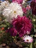 Crisantemi del cumulo di neve Immagini Stock Libere da Diritti
