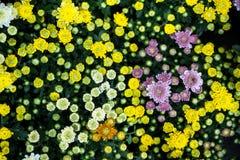 Crisantemi di fioritura variopinti con il fondo delle foglie verdi Immagine Stock