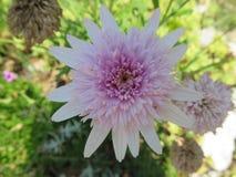 Crisantemi Royalty Free Stock Image