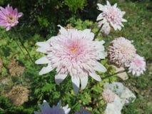 Crisantemi Royalty Free Stock Images