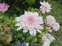 Crisantemi Royalty Free Stock Photography