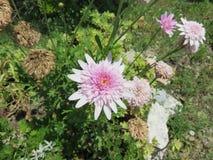 Crisantemi Royalty Free Stock Photo