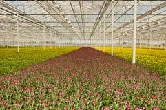 Crisantemi germoglianti variopinti in una serra Fotografia Stock