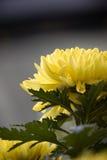 Crisantemi gialli Fotografie Stock
