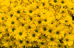 Crisantemi gialli Fotografie Stock Libere da Diritti