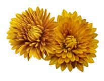 Crisantemi gialli del fiore; su un bianco fondo isolato con il percorso di ritaglio closeup Nessun ombre Per il disegno Immagini Stock