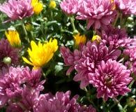 Crisantemi gialli e porpora Immagine Stock Libera da Diritti