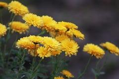 Crisantemi gialli nell'angolo dell'immagine immagine stock libera da diritti
