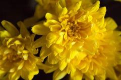 Crisantemi luminosi gialli fotografie stock libere da diritti