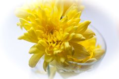 Crisantemi luminosi gialli immagine stock libera da diritti