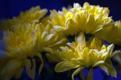 Crisantemi luminosi gialli immagini stock libere da diritti
