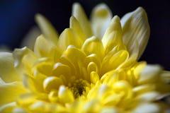 Crisantemi luminosi gialli immagini stock