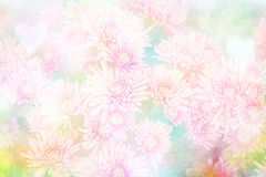 Crisantemi per il fondo del fiore Fotografia Stock Libera da Diritti