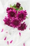 Crisantemi porpora Immagini Stock